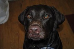 "Jasper is an adoptable Chocolate Labrador Retriever Dog in Sparta, WI. ""JASPER""   I am a superb chocolate lab, neutered male.  I am about 2 years old, maximum, and I am well behaved and respectable.  ..."
