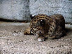 Iriomote Cat | free Iriomote Cat wallpaper wallpapers download