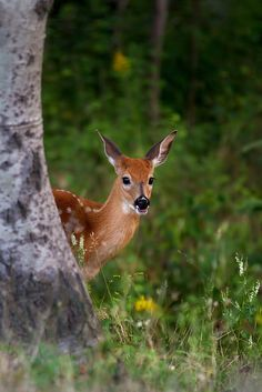 Peek-a-boo Fawn - White-tailed deer