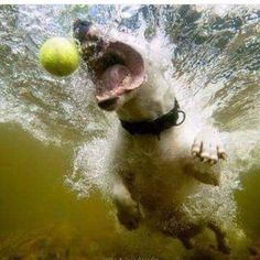 The ball is all! Bull Terrier Funny, Mini Bull Terriers, English Bull Terriers, Best Dog Breeds, Best Dogs, Underwater Dogs, Animals And Pets, Cute Animals, American Bull