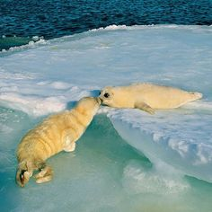 Photo by @BrianSkerry.  Harp Seal Pups Kissing!  Two harp seal pups meet each other on the pack ice in Canada's Gulf of St. Lawrence, touching noses as they sniff one another.