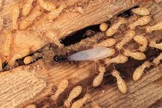 Termite Control - Laceys Creek Pest Management Termites are social insects, living and working as a colony. Termites could be secretly hidin. Types Of Termites, Drywood Termites, Brisbane, Sydney, Termite Inspection, Termite Control, Pest Management