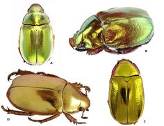 Living jewels - Coleop-Terra - A Homage to Diversity of Tropical Beetles  coleop-terra.com