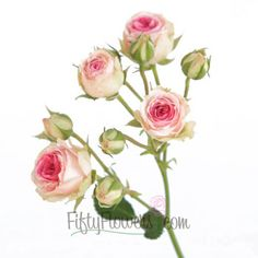 Eden pink and green mini Spray Garden Rose Available year round
