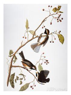 オールポスターズの ジョン・ジェームス・オーデュボン「Audubon: Chickadee」ジクレープリント