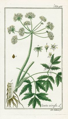 Cicuta virosa, Hemlock from Medicinal Engravings by Zorn Botanical Prints, Hand Coloring, Botany, Flora, Lily, Herbs, Antiques, Illustration, Bouquet