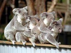koala congo line