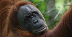 Orangutan – a forest man