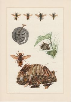 1957 Wasps Antique Print Vespidae Offset Lithograph by Craftissimo, €13.95