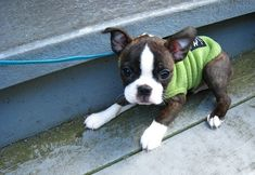 sweater, terriers, puppies, funny dogs, green, boston terrier, funny dog pictures, baby animals, walk