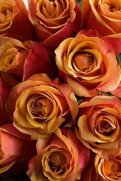 autumn.quenalbertini: Autumn Roses