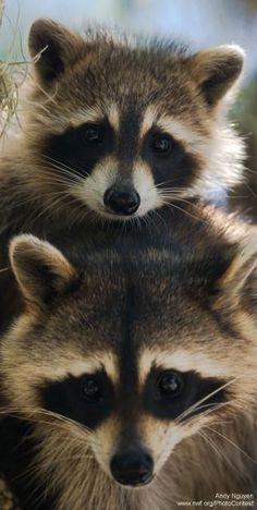 Dos mapaches bonitos.