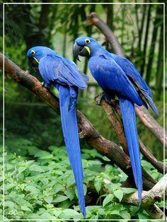 Ara bleu originaire de la region de la pantanal
