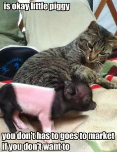 Funny animal pictures of cat and piglet.
