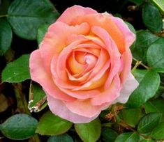 Beginners Guide to Growing Beautiful Roses! Genius Ideas} - The Frugal Girls Nothing beats a beautiful rose garden. Use this beginners guide for growing beautiful roses to make your rose garden thr. Gardening For Beginners, Gardening Tips, Flower Gardening, Mason Jar Herb Garden, Bottle Garden, Genius Ideas, Dump Cake Recipes, Organic Roses, Growing Roses
