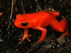 The Red Mantella frog has an orange/red dorsal surface. These frogs are small, reaching a size of 2.5 centimetres (1 in) in length. It is is a small, terrestrial frog native to Madagascar.