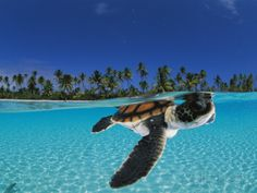 Baby green sea turtle swimming in a tropical paradise Photographic Print by David Doubilet at AllPosters.com