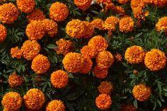 How to Prune Marigolds