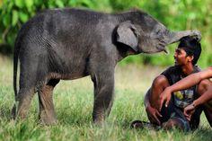 Un elefante bebé juega con un joven, en el ecosistema de Leuser (Indonesia).