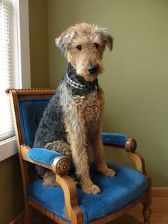 Airedale.  @Jessica Gleim Miss Money Penny is famous!