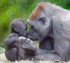 Unconditional love: Gorilla mother and baby nose to nose. Primates, Mammals, Nature Animals, Animals And Pets, Cute Baby Animals, Funny Animals, Mother And Baby Animals, Beautiful Creatures, Animals Beautiful