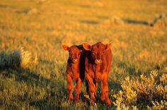 Chuck Haney Photography - Red Angus Calves