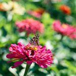 Zinnia- Annual flower needs sun.