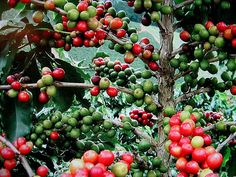 Coffee Tree Coffea arabica 15 fresh seeds fragrant by SmartSeeds