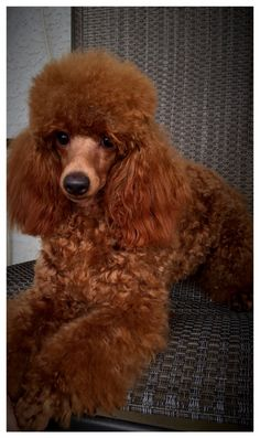 Looks like our precious, irreplaceable boy. Pet Dogs, Dogs And Puppies, Dog Cat, Poodle Puppies, Doggies, Red Poodles, French Poodles, Standard Poodles, Poodle Cuts