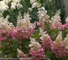 Proven Winners - Panicle Hydrangeas - Reliable Blooms Every Year in Professional Professional Landscaping and Landscapes Smooth Hydrangea, Hydrangea Care, Hydrangea Flower, Hydrangeas, Hydrangea Paniculata Pinky Winky, Hydrangea Pinky Winky, Unusual Flowers, Colorful Flowers, All Plants