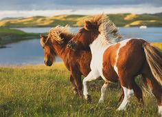 Shetland Ponies running in Lerwick, Shetland Islands, Scotland