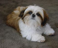 cute shih tzus - Google Search
