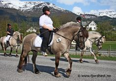 """The """"grey"""" (grå) has a grey body (black + dun); the shade can vary from light silver to dark slate grey. The midtstol, halefjær and primitive markings are dark grey or black. The remainder of the mane, tail and forelock are a lighter grey than the body colour, and can be very pale. Though the term used in the breed standard for this colour is """"grey"""", it is actually a form of dun (grullo) and not a true genetic grey. Les robes du Fjord"""
