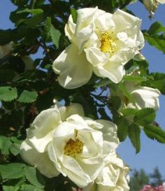 Juhannusruusu – Rosa pimpinellifolia 'Plena' FinE, 1,5-2m, tekee juurivesoja eli nurmikon viereen jotta pysyy kurissa