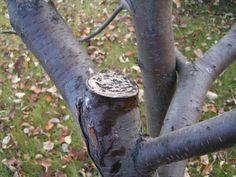 Садовым варом обрабатывают не только раны на дереве, но и места спилов