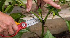 Tăierea tufelor de ardei: 3 pași spre o recoltă bogată - Fasingur Small Farm, Farm Gardens, Pruning Shears, Garden Tools, Garden Design, Home And Garden, Stuffed Peppers, Gardening, Beauty