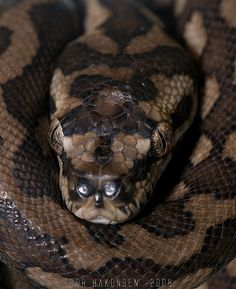 Morelia spilota mcdowelli - Carpet Python | Flickr - Photo Sharing!