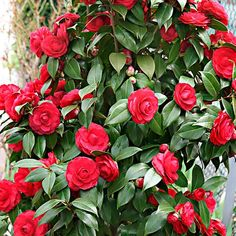 Camélia Camellia japonica 'Black Lace' rouge the ornamental shrub Camellia Camellia japonica 'Black Tree With Red Flowers, Exotic Flowers, Beautiful Flowers, Tropical Flowers, Purple Flowers, Camellia Tree, Camellia Japonica, Camelia Planta, Gardens