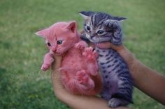 Pink and purple kittens
