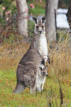 Canguru é o nome genérico dado a um mamífero marsupial pertencente a quatro espécies do género Macropus (ver caixa) da família Macropodidae, que também inclui os wallabees. As características incluem patas traseiras muito desenvolvidas e a presença de uma bolsa (o marsúpio) presente apenas nas fêmeas na qual o filhote completa seu desenvolvimento. O canguru é o animal-símbolo da Austrália.1 Conhecido por seus pulos, é bastante encontrado na Austrália.