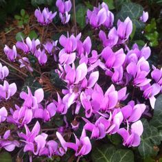 Cyclamen coum with Hedera helix - February 2009