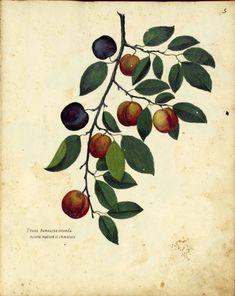Plums. Botanical illustration, medieval Italy by Ulisse Aldrovandi.