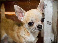 Chihuahua and Cocker Spaniel Mix