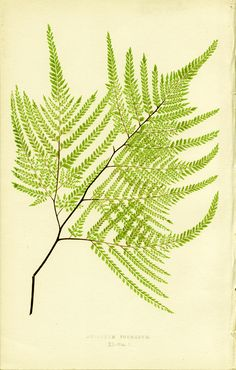 Lowe, Adiatum formosum -Edward Joseph LOWE  Chromoxylograph (color wood engraving ) after drawings by A. F. Lydon from Edward Joseph Lowe's Ferns: British and Exotic, 1872 Print