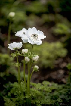 White anemonas | by RoCafe
