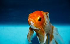 Are you paying attention? by Joel Obstfeld - http://ift.tt/1jXR63U I recently listened to a a16z podcast entitled Addiction vs Popularity in the Age of Virality. In the discussion the oft-mentioned goldfish vs human attention span quip came up. In this case the commentwas:  Goldfish have an attention span of 9 seconds. The average teenager has an attention span of 8 seconds.  Lets dig into this statement.  Why do we compare the attention span of a goldfish to that of a human being in the…