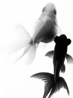 Black Moor & White Fantail