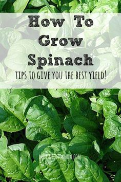 How To Grow Spinach In Your Garden - Once it starts to get warmer, there is no reason to keep paying $3/bag at the grocery store! Spinach is SO easy to grow!: