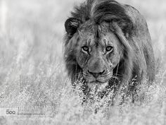 World Lion Day  Focus by Chris H Petersen
