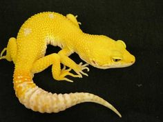 Wonderful color variations are one of the great things about Leopard Geckos, they are the little rainbows of the reptile world